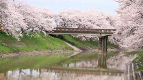 【3000文字チャレンジ】桜といえば・・・で思いだす作品いろいろ(歌・映画・小説・漫画)